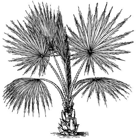 marsh plant: Impianto Washingtonia filifera (California Fan Palm) isolato su sfondo bianco