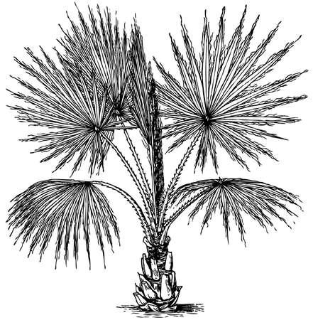 marsh plant: Plant Washingtonia filifera (California Fan Palm) isolated on white background