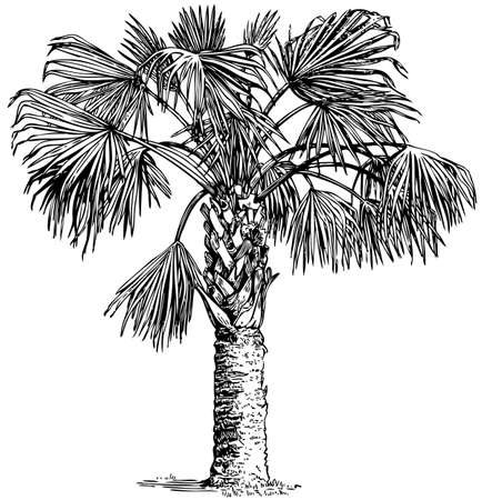 palmetto: Plant Sabal palmetto (Cabbage palm) isolated on white background