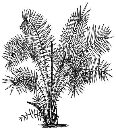 dattelpalme: Werk Phoenix reclinata (Senegal Dattelpalme) isoliert auf wei�em Hintergrund