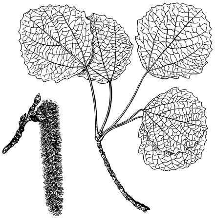 Plant Populus tremula on white background Stock Vector - 11582990