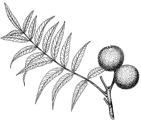 dattelpalme: Pflanzen Juglans rupestris auf wei�em Hintergrund Illustration
