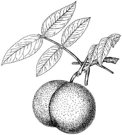 Plant Juglans nigra on white background Stock Vector - 11582993