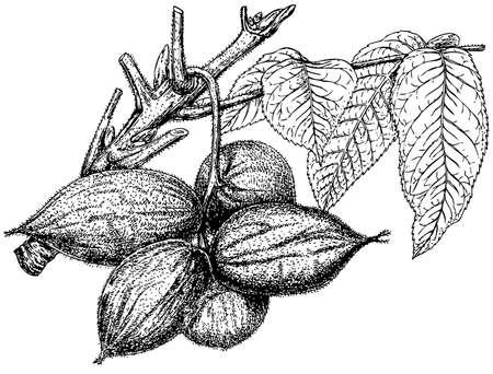 Plant Juglans cinerea on white background Stock Vector - 11582994