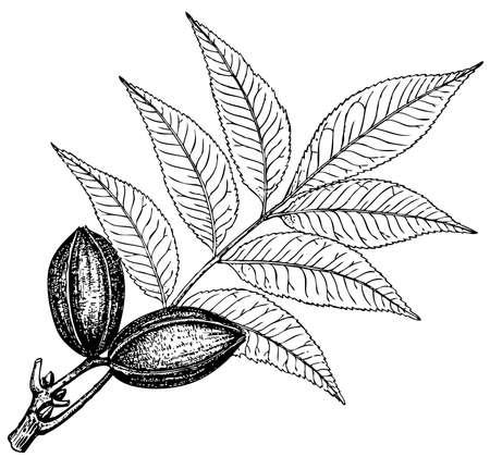 pecan: Plant Carya pecan on white background Illustration
