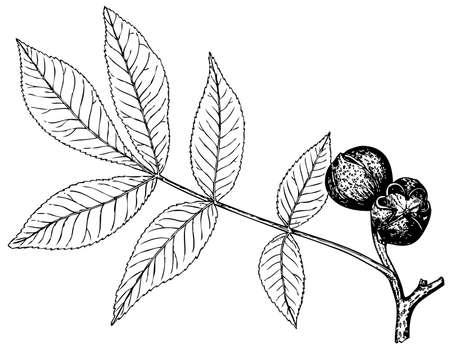 Plant Carya glabra (Pignut hickory) onwhite background Stock Vector - 11582983