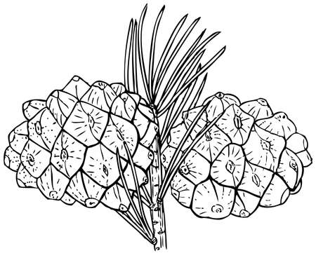 hop cone: Plant Pinus bungeana (Lacebark Pine) Illustration