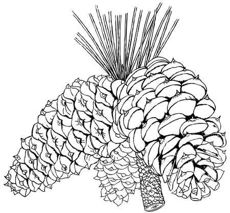 hop cone: Plant Pinus ponderosa (Ponderosa Pine) Illustration