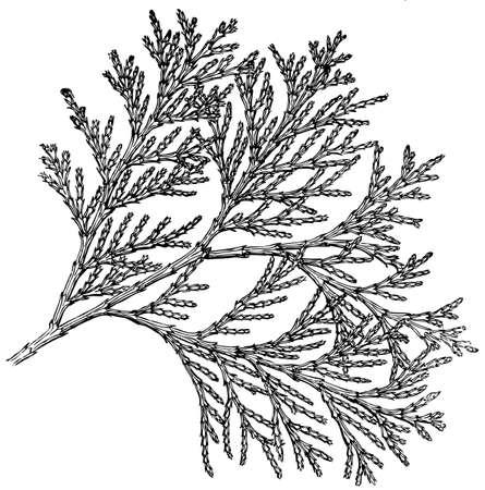 cedro: Planta Libocedrus decurreus (California Incienso-cedro) Vectores