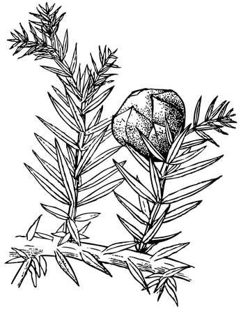 enebro: Planta Juhiperus chinensis (chino Juniper)