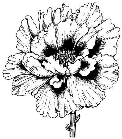 paeonia: Plant Paeonia arborea (Tree peony)