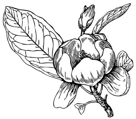 Plant Magnolia virgiana (Sweetbay magnolia)