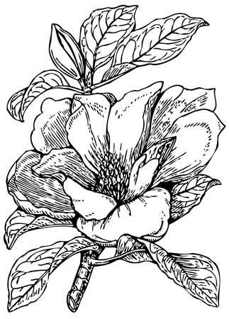 magnolia: Plant Magnolia grandiflora (Bull bay) Illustration