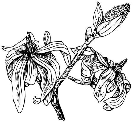 magnolia: Plant Magnolia stellata (Star magnolia)