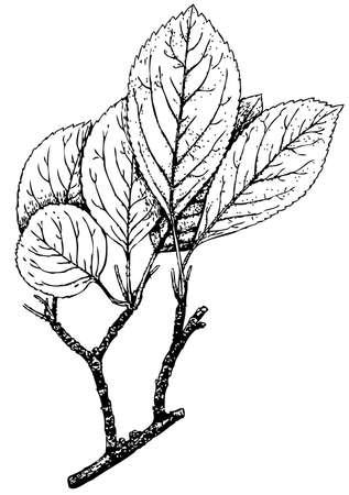 dates fruit: Planta kirghisorum Malus (manzano silvestre)