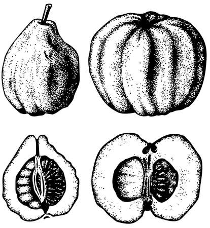 quince: Plant Pseudocydonia (Chinese Quince)