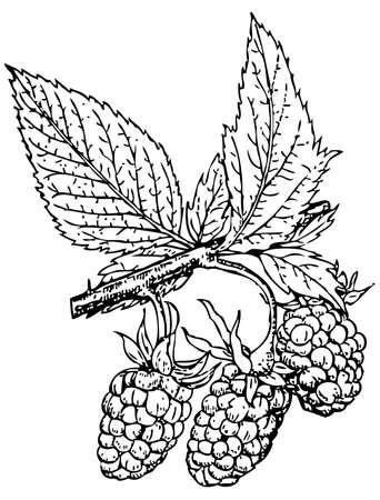 rubus: Plant Rubus crataegifolius (Korean Raspberry)
