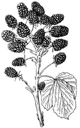 dewberry: Plant European Dewberry