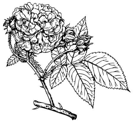 Plant Rosa Maidens Blush Stock Vector - 11583039