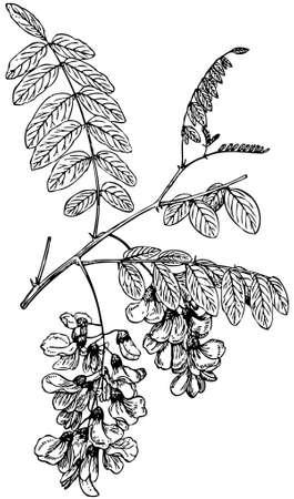 locust: Plant Robinia pseudoacacia (Black Locust) Illustration