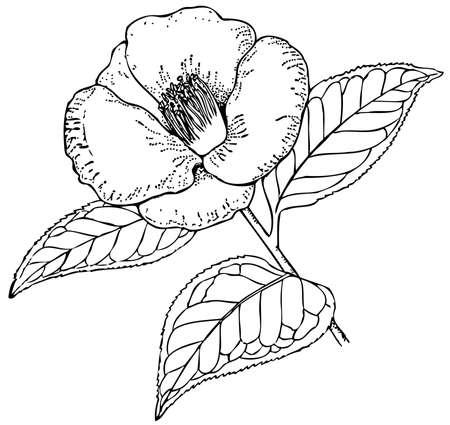 camellia: Plant Camellia japonica (Rose of winter)