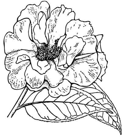 camellia: Plant Camellia reticulata