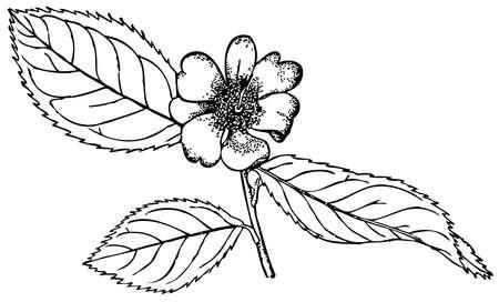 camellia: Plant Camellia oleifera (Tea Oil Camellia) Illustration