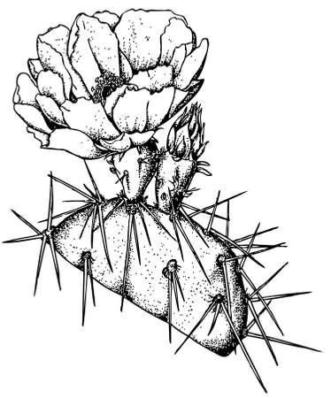 prickly: Plant Opuntia engelmannii (Prickly pear) Illustration
