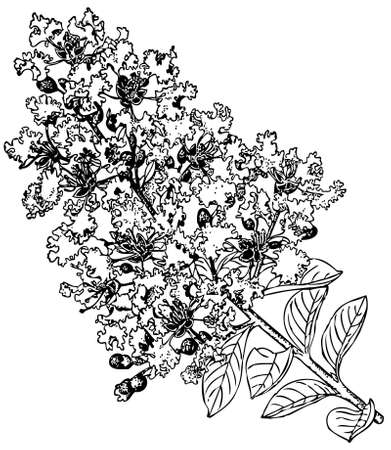 common hop: Plant Lagerstroemia indica (Crape myrtle) Illustration