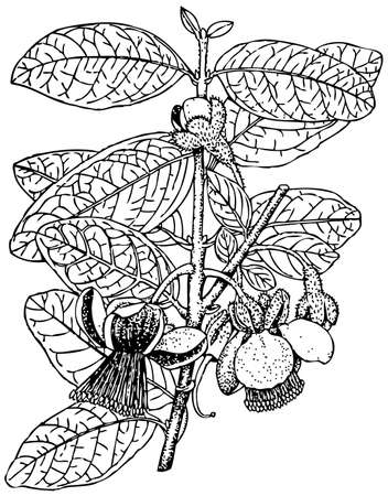 common hop: Plant Acca sellowiana (Pineapple guava) Illustration