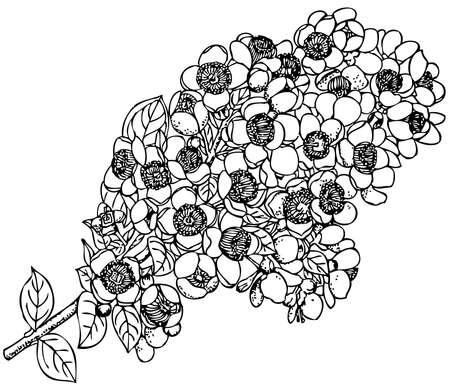 myrtle: Plant Myrceugenella apiculata (Chilean Myrtle) Illustration
