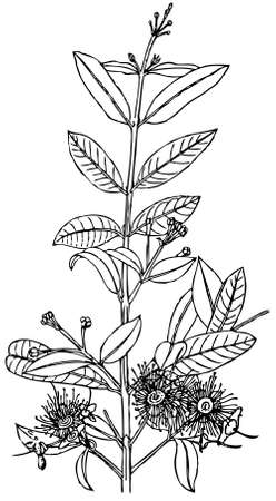 Plant Syzygium paniculatum (Magenta cherry) Stock Vector - 11583027
