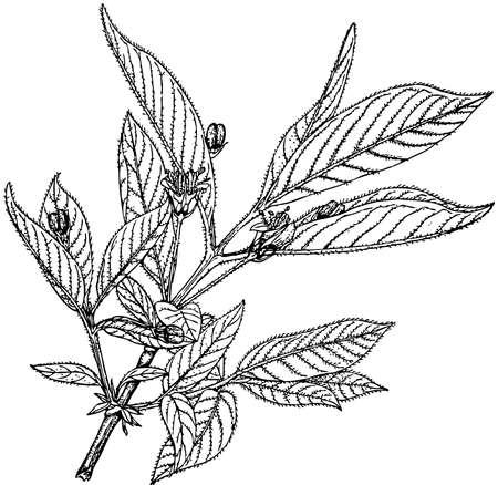 honeysuckle: Plant Lonicera involucrata (Bearberry Honeysuckle)