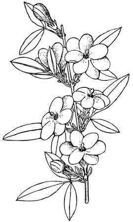 Pflanzen Jasminus mesnyi