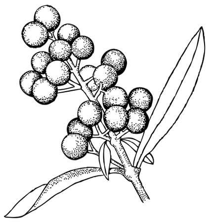 vulgare: Plant Ligustrum vulgare (Wild Privet) Illustration