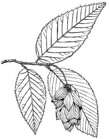 hornbeam: Plant Ostrya carpinifolia (Hop Hornbeam) Illustration