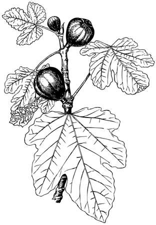 fig leaf: Plant Ficus carica (Common fig)