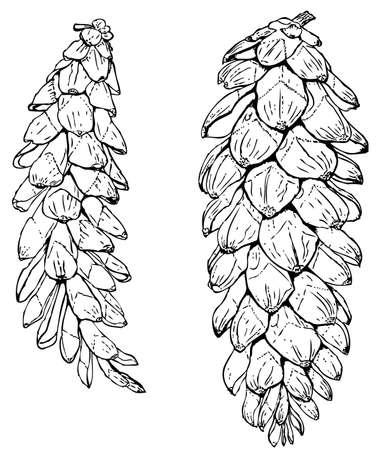 hop cone: Plant Pinus strobus (Eastern white pine)