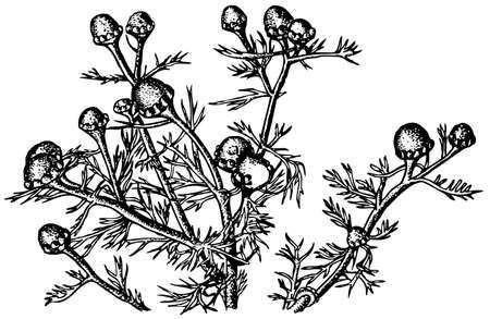 matricaria: Plant Matricaria
