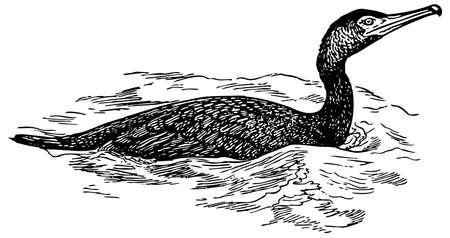 cormorant: Bird Japanese Cormorant