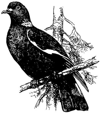 Bird Common Wood Pigeon Illustration