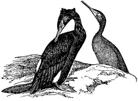 cormorant: Bird Pelagic Cormorant