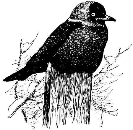 eurasian: Bird Eurasian Jackdaw
