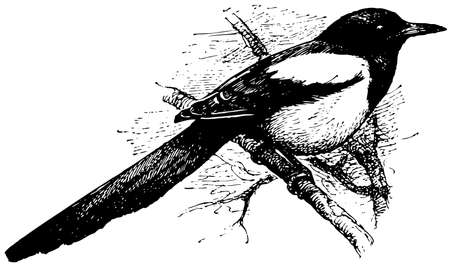 magpie: Bird Eurasian Magpie Illustration