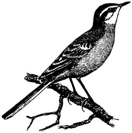 Bird Yellow Wagtail Vector