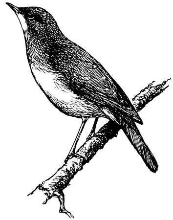 rossignol: Oiseau Nightingale