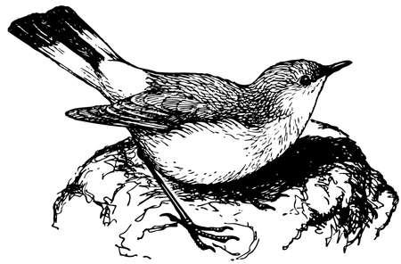 Bird Isabelline Wheatear Vector