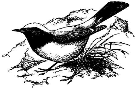 Bird Desert Wheatear Stock Vector - 12486008