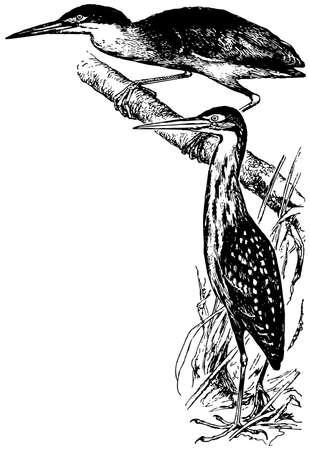 bittern: Bird Von Schrencks Bittern Illustration