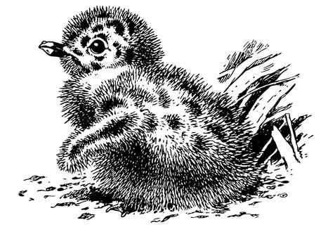 herring: Newborn European Herring Gull